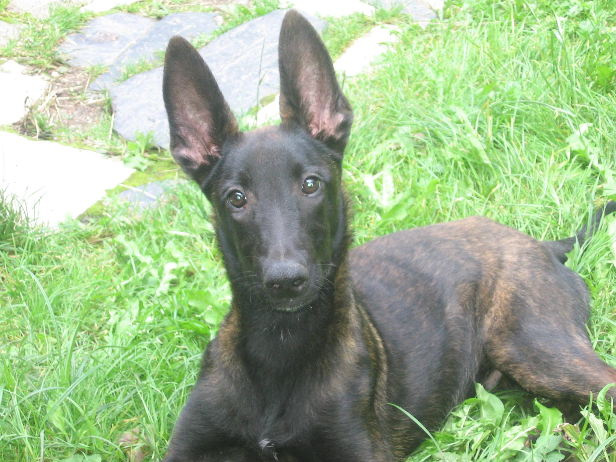 Dutch Shepherd Protection Dogs