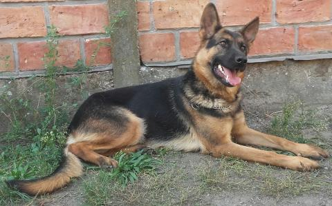 Porodični pas čuvar