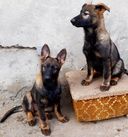 German Shepherd Puppies Protection Dogs -k9