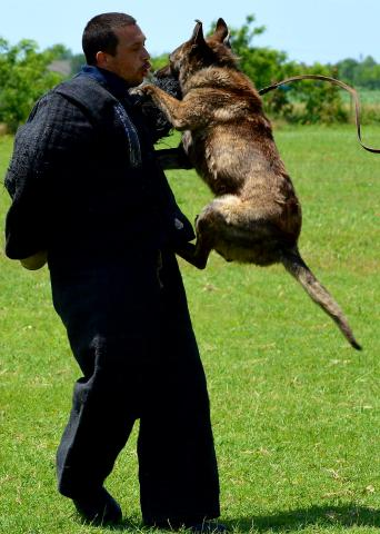 protectiondogs-k9 KNPV knpv dogs