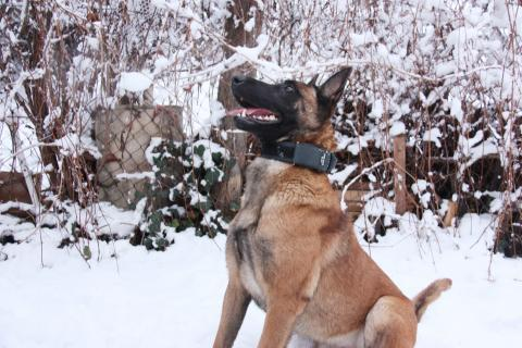 family protection dogs knpv protection and police dogs