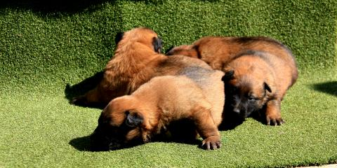 family protection dogs knpv protection and police dogs Belgijski Ovčari Malinoe knpv protection and police dogs