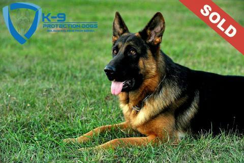 KNPV štenci protection dogs -k9 KNPV puppies protection dogs -k9 dogs for personal and family protection psi za ličnu i porodičnu zaštitu