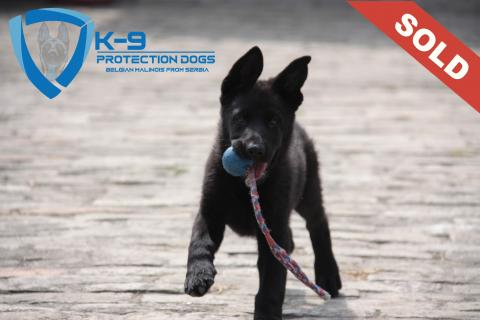 KNPV Protection and Police Dogs Dogs for Personal and Family Protection
