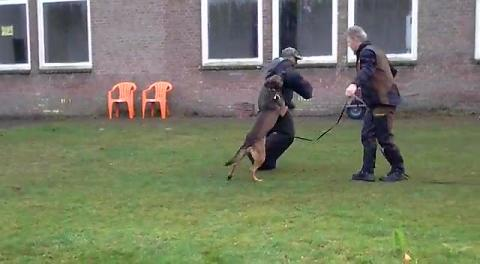 KNPV police protection dogs k9
