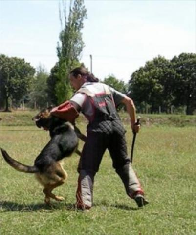 dogs for personal and family protection knpv police and protection dogs k9