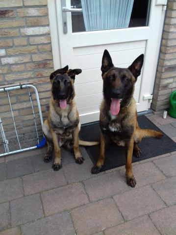 KNPV Protection Dogs -k9