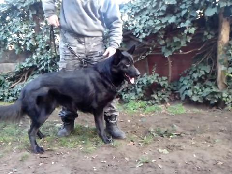 Dresiran pas za porodičnu zaštitu